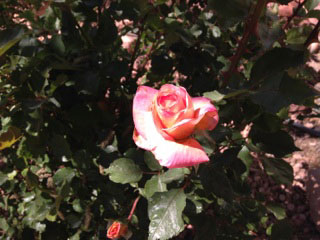 Beautiful rose in bloom at the Turquoise Triangle RV Park in Cottonwood, Arizona