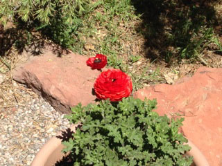 Red flower in the Turquoise Triangle RV Park in Cottonwood, Arizona